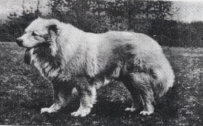 кавказская овчарка Кучум