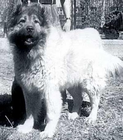 кавказская овчарка Арч