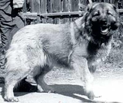 Кавказская овчарка Матрона