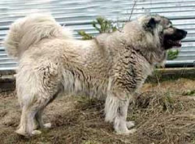 Кавказская овчарка Шамхал Лилу