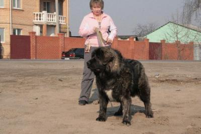 Кавказская овчарка Дикая Стая Витязь