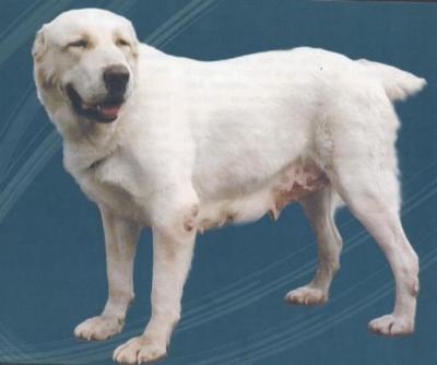 Среднеазиатская овчарка сука, Азиза