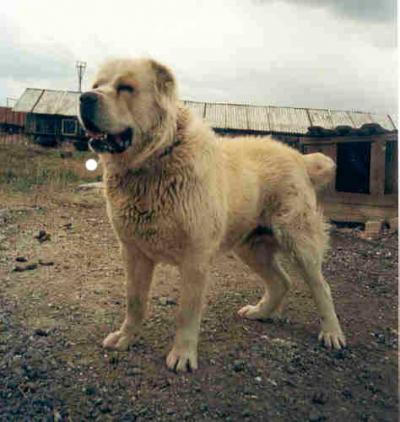 Среднеазиатская овчарка кобель, Тургай