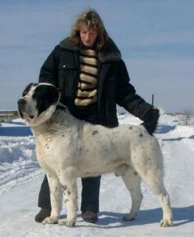 Среднеазиатская овчарка кобель - ROTTIS ALLYANS BABAY