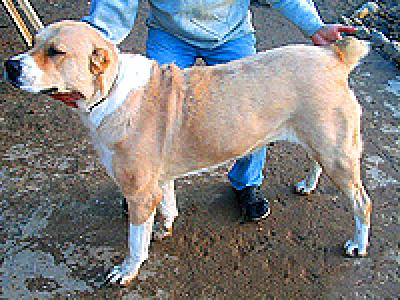 Среднеазиатская овчарка сука, Агым 10 месяцев