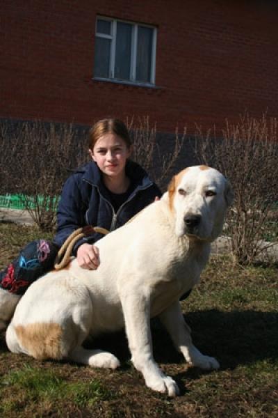 алабай, туркменский волкодав - сука МИХАЙЛОВСКАЯ СЛОБОДА АЛТЫН - 1 ГОД