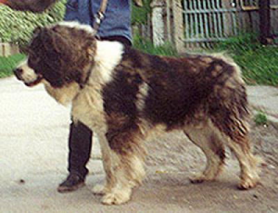 Кавказская овчарка, кобель Габо