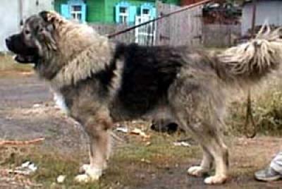 кавказская овчарка кобель, Джипп из Столицы Сибири