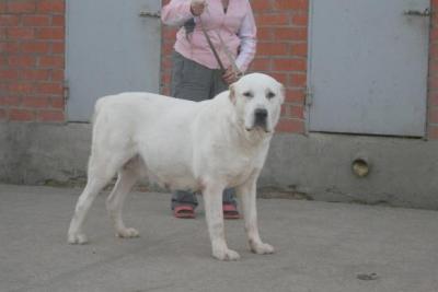 среднеазиатская овчарка - алабай, туркменский волкодав - сука Русский Риск Шакира