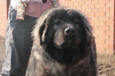 кавказская овчарка Дикая Стая Верона - 1, 5 года