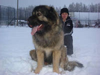 Кавказская овчарка Русский Риск Ибрагим