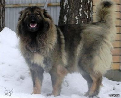 кавказская овчарка Виджая