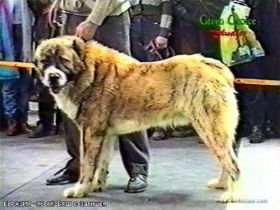 Среднеазиатские овчарки, алабай, туркменский волкодав, Ак Баш с Затишья