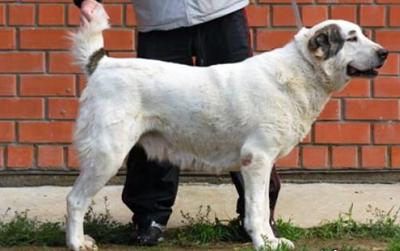 среднеазиатская овчарка - алабай - сука Индира