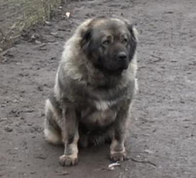 Кавказская овчарка Ануш