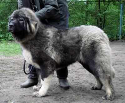 Кавказская овчарка Русский Риск Очей Очарование