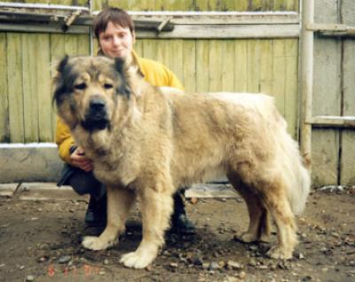 Кавказская овчарка Белль
