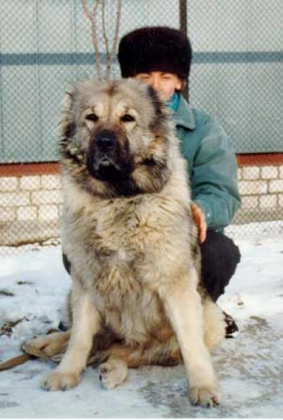 Кавказская овчарка Ариша 2