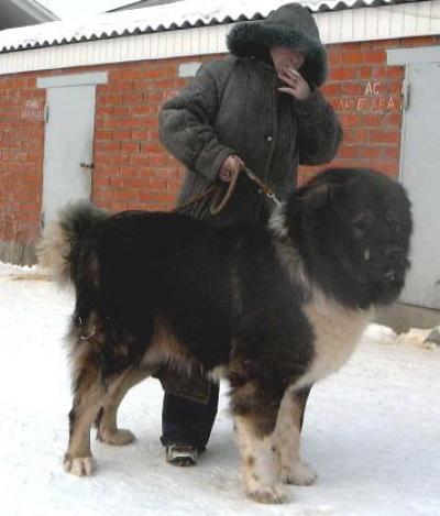 Кавказская овчарка Русский Риск Бандит