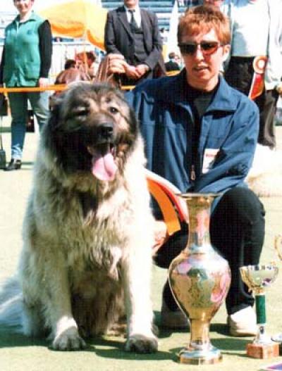 Кавказская овчарка Шемаха Дахна