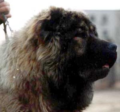 Кавказская овчарка Мономах Цкаро