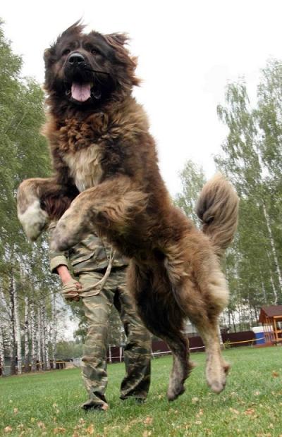 кавказская овчарка Бай из Александровой Слободы