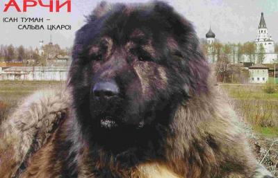Кавказская овчарка Арчи