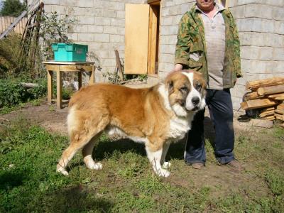 Среднеазиатская овчарка Нарим