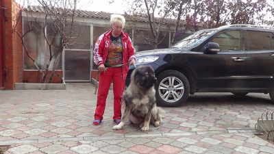 кавказская овчарка Русский Риск Важная Особа