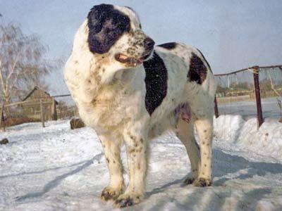 среднеазиатская овчарка, алабай, НОКОТ АК-НУКЕР, AK-NUKER NOKOT