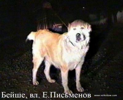 среднеазиатская овчарка, алабай, БЕЙШЕ