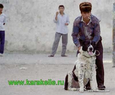 среднеазиатская овчарка, алабай, Гара Хан