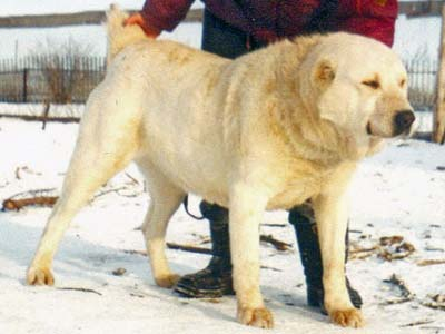 среднеазиатская овчарка, алабай, Ак Нукер Гун Ак Куш