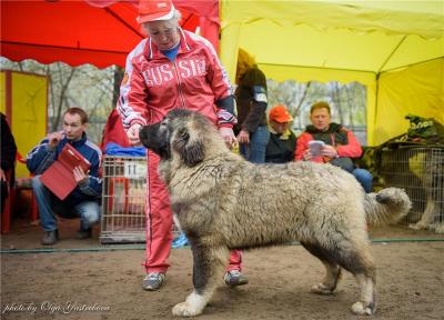 кавказская овчарка Русский Риск Отважный 6 месяцев