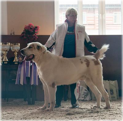 Алабай, среднеазиатская овчарка, кобель Русский Риск Янгы 1,5 годан