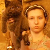 Британский котенок, котик шоколадный 1,5 месяца.