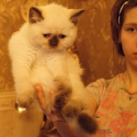 Британский котенок колор пойнт, кошечка 1,5 месяца.