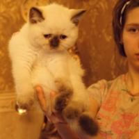Британский котенок, короткошерстный, котик 50 дней