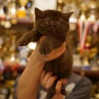 Британский котенок, кошка 1,5 месяца, шоколадного окрасса