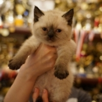 Британский котенок, кошка 1,5 месяца, колор пойнт