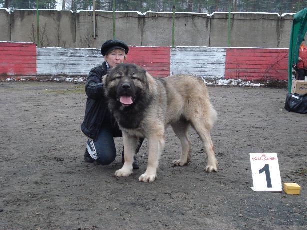 кавказская овчарка кобель Датви Искандер Русский Риск 2 года