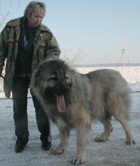 кавказская овчарка кобель Алмаз Русский Риск 1 г. 2 мес. / The Caucasian sheep-dog, male Almaz Russian Risk 14 months