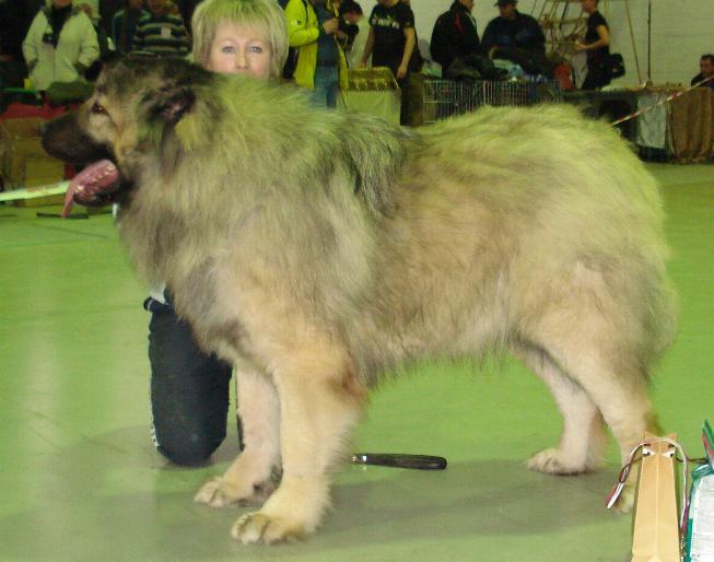 Кавказская овчарка Алмаз Русский Риск / The Caucasian sheep-dog Diamond Russian Risk