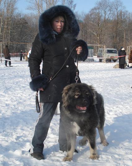кавказская овчарка Русский Риск Атаманша Моя, Caucasian Shepherd dog Russian Risk Atamansha Moya, kavkazskaya ovchaka