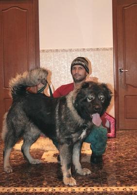 кавказская овчарка Русский Риск Атаманша Моя 2,5 года