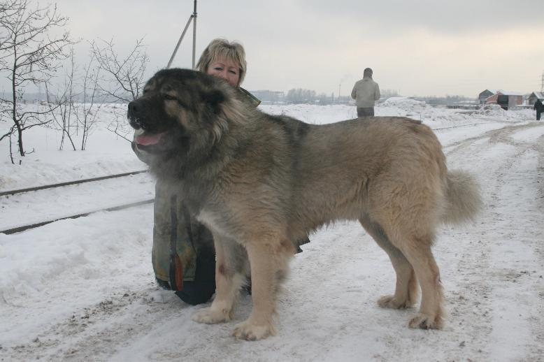 кавказская овчарка кобель Датви Искандер Русский Риск 2 г. 3 мес.