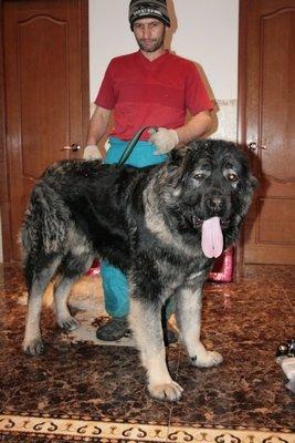 кавказская овчарка Русский Риск Аватар 16 мес.