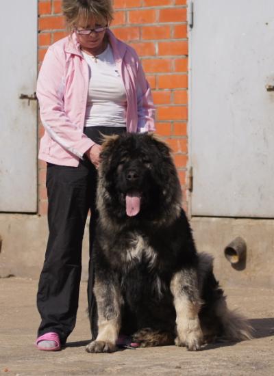 кавказская овчарка Русский Риск Аватар 8,5 мес.