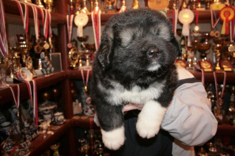 щенки кавказской овчарки - кобель Русский Риск Чародей - 30 дней.
