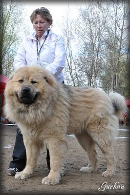 кавказская овчарка Главарь Русский Риск